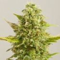 Royal Kush Feminised Cannabis Seeds