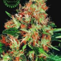 Mangolian Indica Regular Cannabis Seeds | Sagarmatha Seeds