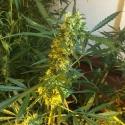 SOMANGO x SCBDX Feminised Cannnabis Seeds
