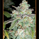 Sour Crack Auto Feminised Cannabis Seeds