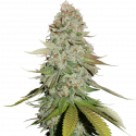 Sticky Monkey GG#4 Feminised Cannabis Seeds | Seed Stockers