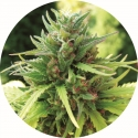 Taomatic Regular Cannabis Seeds