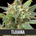 Tijuana Feminised Cannabis Seeds | Blim Burn Seeds