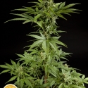 White Yoda Auto Feminised Cannabis Seeds | Philosopher Seeds
