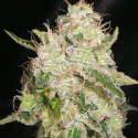 White Chronic Feminised Cannabis Seeds | Cream Of The Crop
