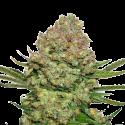 White Widow Feminised Cannabis Seeds   Seed Stockers