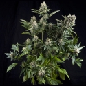 Auto White Widow Feminised Cannabis Seeds | Pyramid Seeds