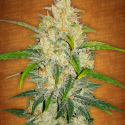 Zkittlez Auto Feminised Cannabis Seeds | Fast Buds