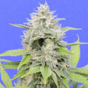 Zkittzy Gorilla Feminised Cannabis Seeds | Original Sensible Seed Company