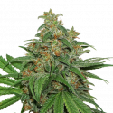AK420 Auto Feminised Cannabis Seeds | Seed Stockers