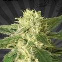 Auto #1 Auto flowering Feminised Cannabis Seeds   Auto Seeds