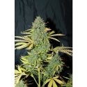 Auto White Widow Feminised Cannabis Seeds | Seedsman