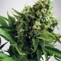 Auto White Widow Feminised Cannabis Seeds | Ministry of Cannabis