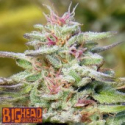 Buy Big Head Seeds THC Pro Feminised Cannabis Seeds