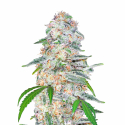 Blue Dream'matic Auto Feminised Cannabis Seeds | Fast Buds