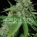 Brazil Amazonia Feminised Cannabis Seeds | World of Seeds