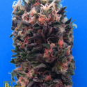 Blue Sky 99% Feminised Cannabis Seeds | Breaking Buds Seeds