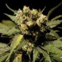 White Widow Feminised Cannabis Seeds | Bulldog Seeds