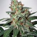 Carnival Feminised Cannabis Seeds | Ministry of Cannabis