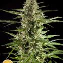 Auto Stilton CBD Feminised Cannabis Seeds   Philosopher Seeds