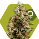 Choco Candy Feminised Cannabis Seeds | Zambeza Seeds