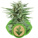 Easy Bud Auto Feminised Cannabis Seeds   Royal Queen Seeds