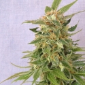 Ginger Punch Auto Feminised Cannabis Seeds | Kannabia