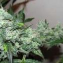 Ice Feminised Cannabis Seeds | Nirvana