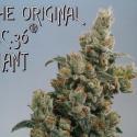 KC36 Regular Cannabis Seeds | KC Brains Seeds