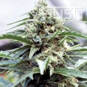 OG Kush Regular Cannabis Seeds | Kush Seeds