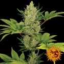 Blue Cheese Auto Feminised Cannabis Seeds | Barney's Farm