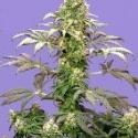 Matanuska Tundra Feminised Cannabis Seeds (AKA Alaskan Thunderfuck) | Sagarmatha Seeds