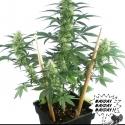 May Day Express Feminised Cannabis Seeds | Positronics