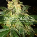 Pakistan Ryder Auto Feminised Cannabis Seeds | World of Seeds