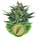 Quick One Auto Feminised Cannabis Seeds | Royal Queen Seeds
