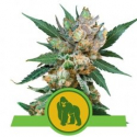 Royal Gorilla Auto Feminised Cannabis Seeds | Royal Queen Seeds