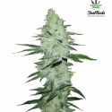 Six Shooter Auto Feminised Cannabis Seeds | Fast Buds