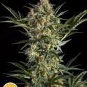 Sleepy Yoda Auto Feminised Cannabis Seeds   Philosopher Seeds