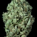 Sour Diesel Auto Feminised Cannabis Seeds | Dinafem Seeds