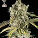 Tahoe OG Regular Cannabis Seeds | Apothecary Genetics Seeds