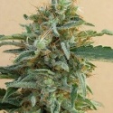 Tikal Regular Cannabis Seeds | Ace Seeds