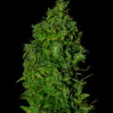 VIP Dwarf Auto Feminised Cannabis Seeds