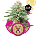 White Widow Feminised Cannabis Seeds | Royal Queen Seeds