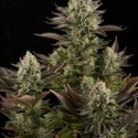 White Widow Feminised Cannabis Seeds | Dinafem Seeds