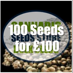 Black Domina Feminised Cannabis Seeds | 100 Bulk Seeds