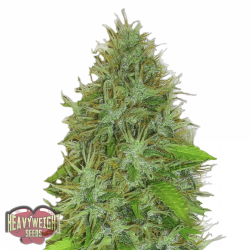 2 Fast 2 Vast Auto | Heavyweight Seeds