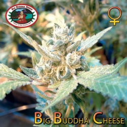 Cheese (x Cheese) | Big Buddha Seeds