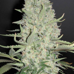 White Widow x Big Bud | Female Seeds