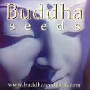 Buddha Cannabis Seeds | Cannabis Seeds Store