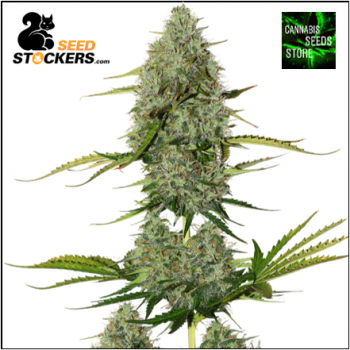 BCN Critical XXL Auto Feminised | Seed Stockers